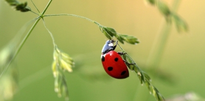 ../library/userfiles/_thumbs/ladybug-1480102_1280_400x197px.jpg